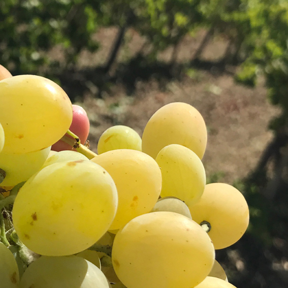 L'uva bianca del Podere Messina