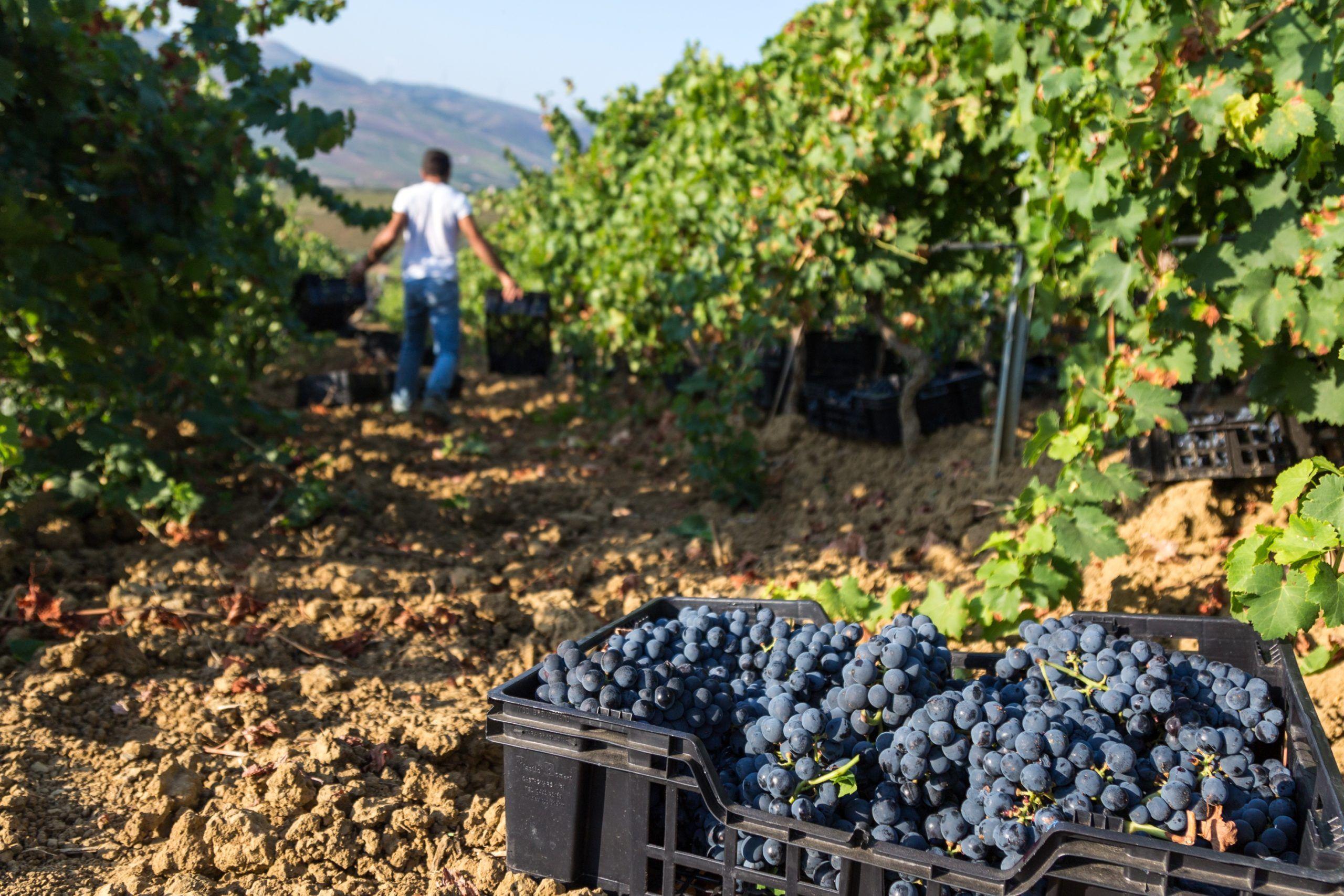 Vendemmia 2020, il parere dei produttori siciliani