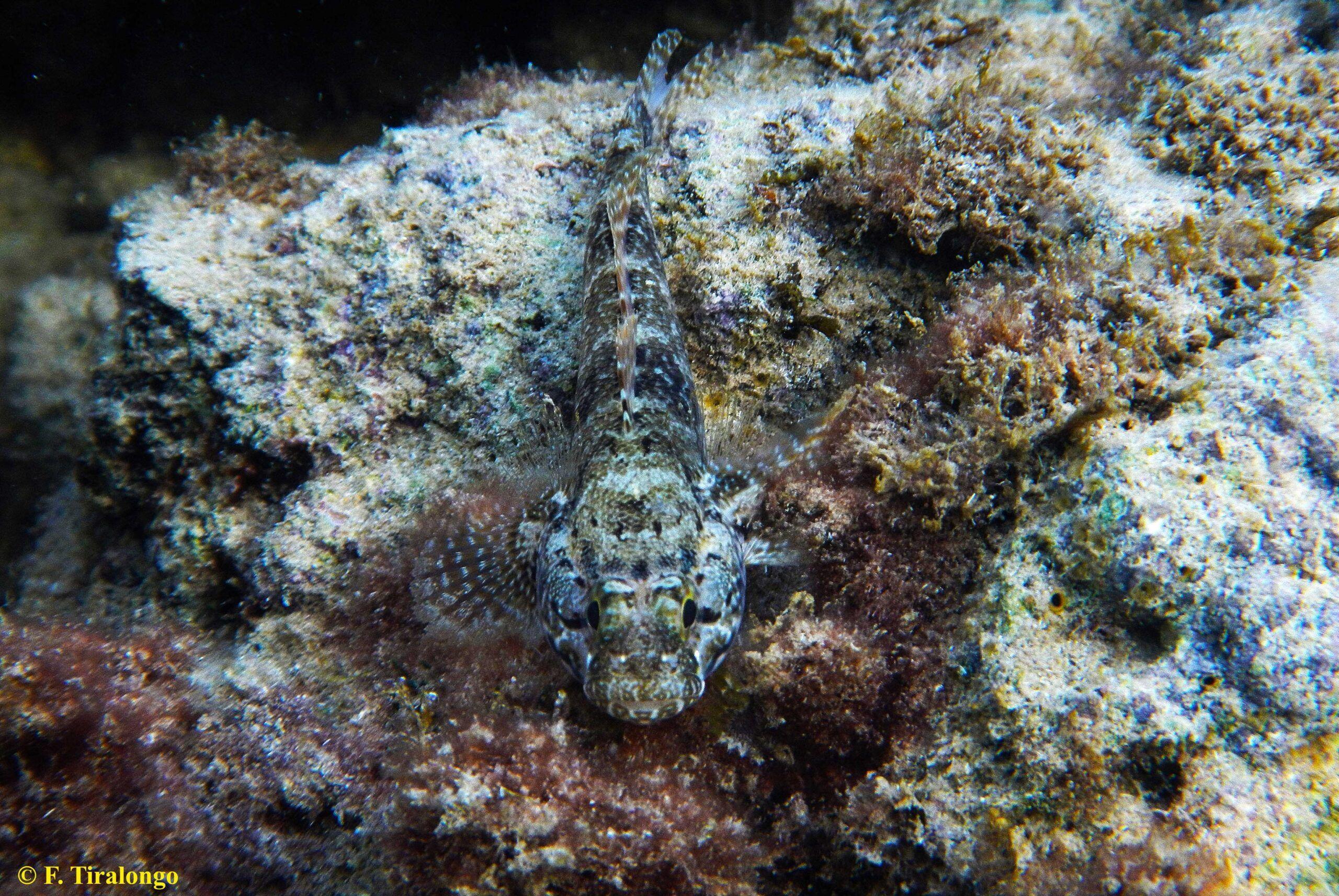 Nel Mediterraneo il ghiozzo paganello è l'antidoto naturale all'alieno granchio corridore