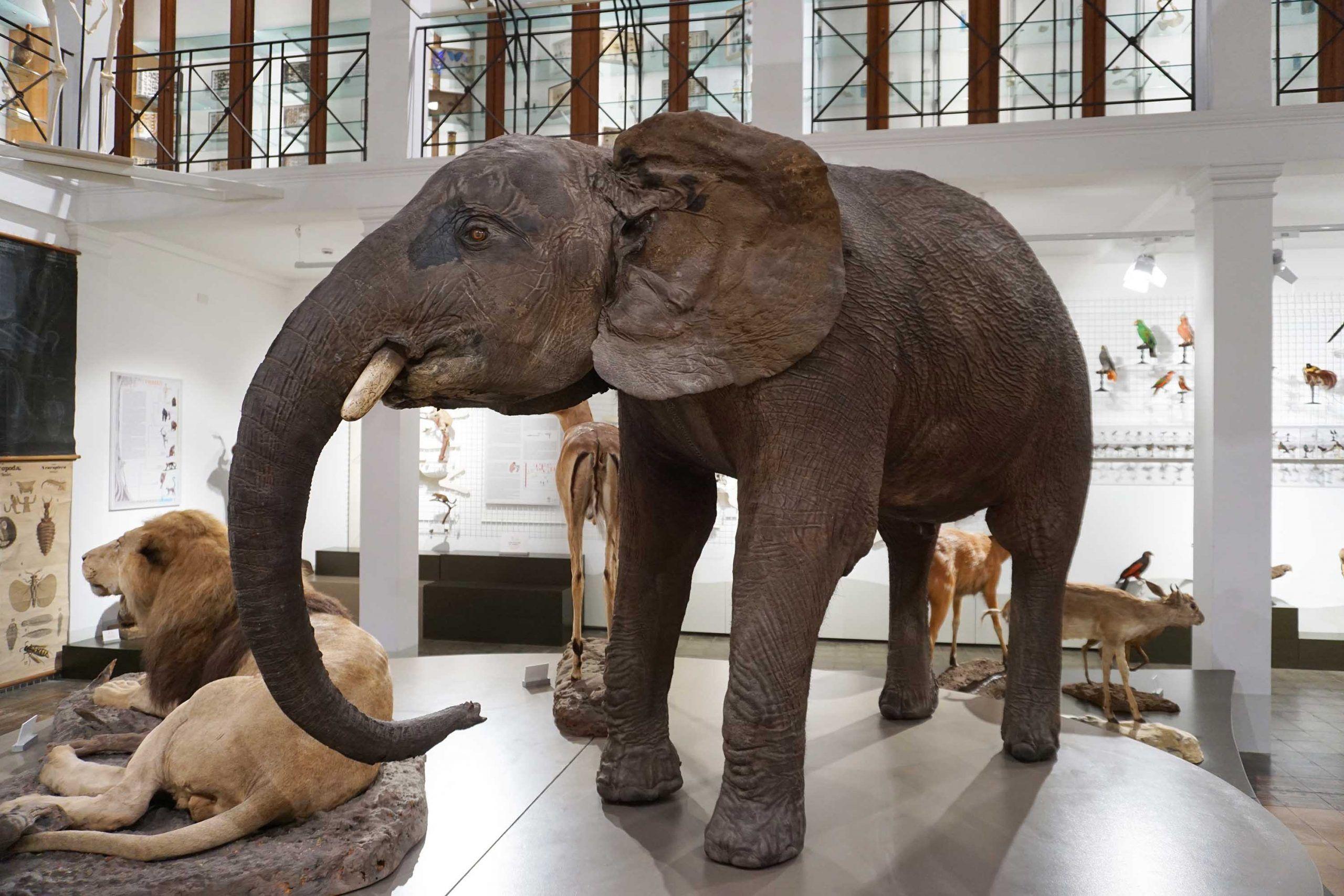 Un elefante africano dà il benvenuto al rinnovato MuZoo di Catania